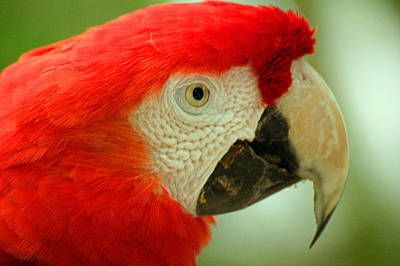Scarlett Macaw South America Poster
