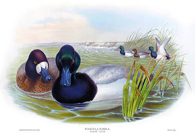 Scaup Duck Antique Bird Print John Gould Hc Richter Birds Of Great Britain  Poster by Orchard Arts