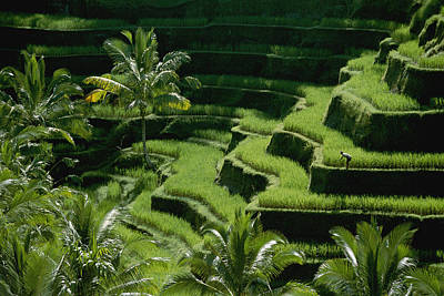 Scenic Valleys With Rice Fields In Bali Poster by Paul Chesley