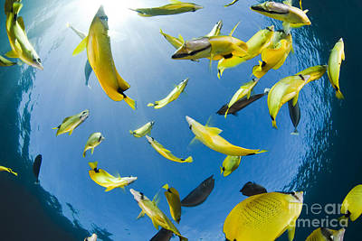 Schooling Butterflyfish Poster by Dave Fleetham - Printscapes