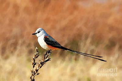 Scissor-tailed Flycatcher Poster by Betty LaRue