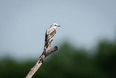 Scissor-tailed Flycatcher Out On A Limb Poster by Debra Martz
