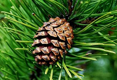 Scotch Pine Cone Poster by Marilynne Bull