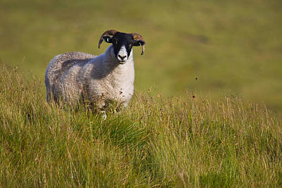 Poster featuring the photograph Scottish Blackface Sheep On Green Field by Gabor Pozsgai