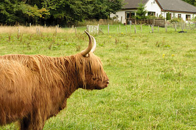 Poster featuring the photograph Scottish Cattle Farm by Christi Kraft