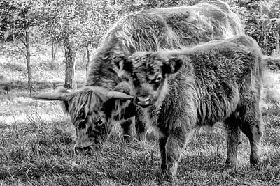 Scottish Highland Cattle Black And White Poster