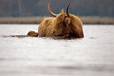 Scottish Highlander With Young To Swim Poster by Ronald Jansen