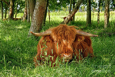 Poster featuring the photograph Scottish Higland Cow by Patricia Hofmeester