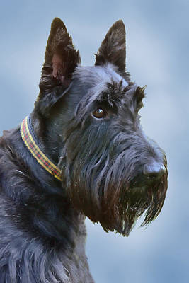 Scottish Terrier Dog Poster by Jennie Marie Schell