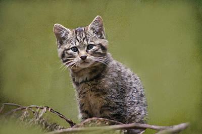 Scottish Wildcat Kitten Poster