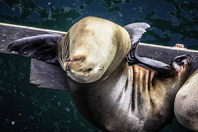 California Sea Lion - Scratch The Itch Poster