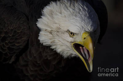 Poster featuring the photograph Screaming Eagle by Andrea Silies