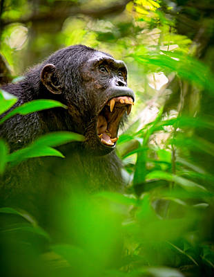 Screaming Wild Chimpanzee Poster by Dirk Ercken