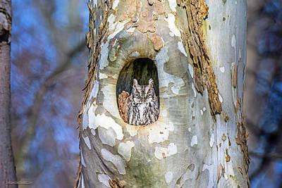 Screech Owl In A Sycamore Tree Poster
