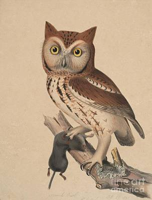 Screech Owl - Red Owl Poster by Celestial Images