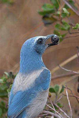 Scrub Jay With Acorn Poster