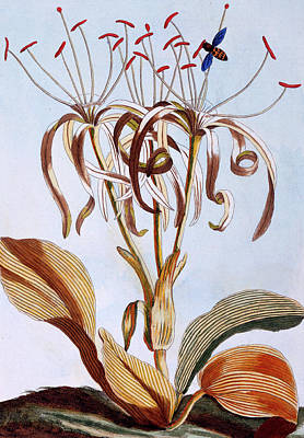 Sea Daffodil Poster by Pierre-Joseph Buchoz
