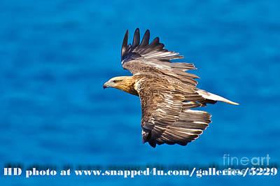 Sea Eagle 2 Poster by Michael  Nau