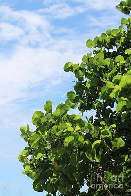 Sea Grapes With Blue Sky Poster