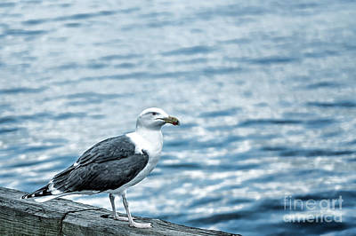 Sea Gull II Poster by Tamyra Ayles