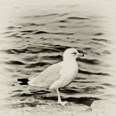 Sea Gull In Sepia Poster