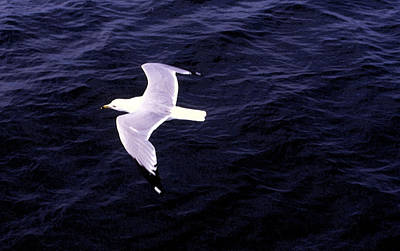 Poster featuring the photograph Sea Gull Over Water Dbwc by Lyle Crump