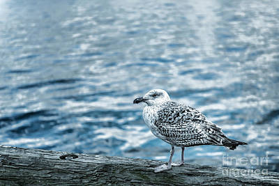 Sea Gull Poster by Tamyra Ayles
