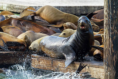 Sea Lions On The Floating Dock In San Francisco Poster