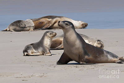 Poster featuring the photograph Sea Lions by Werner Padarin
