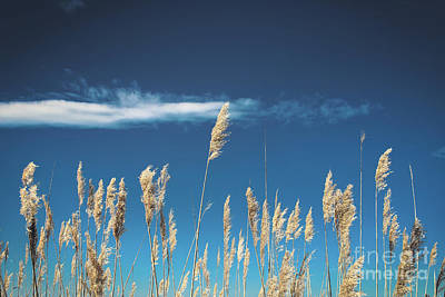 Poster featuring the photograph Sea Oats On A Blue Day by Colleen Kammerer