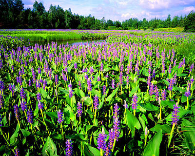 Sea Of Pickerelweed Poster