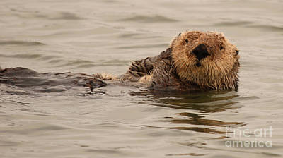 Poster featuring the photograph Sea Otter All Cuddled Up by Max Allen