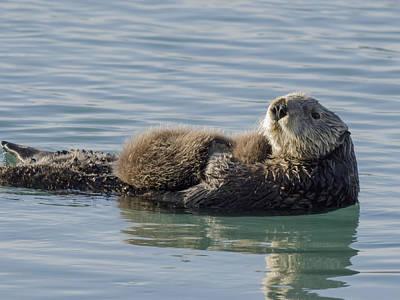 Sea Otter  Enhydra Lutris  Female Poster by Thomas Kline