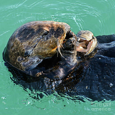 Poster featuring the photograph Sea Otter Munching On A Clam by Susan Wiedmann