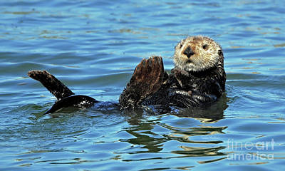 Poster featuring the photograph Sea Otter Primping by Susan Wiedmann
