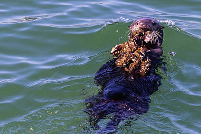 Sea Otter With Lunch Poster