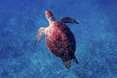 Poster featuring the photograph Sea Turtle by Lars Lentz