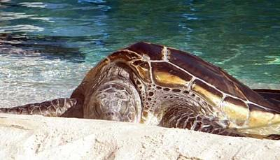 Poster featuring the photograph Sea Turtle Resting by Amanda Eberly-Kudamik