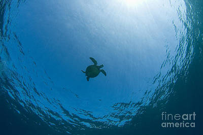 Sea Turtle Silhouette Poster by Dave Fleetham - Printscapes