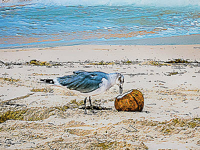 Seagull Eating From A Coconut On The Beach Poster by Rick Grossman