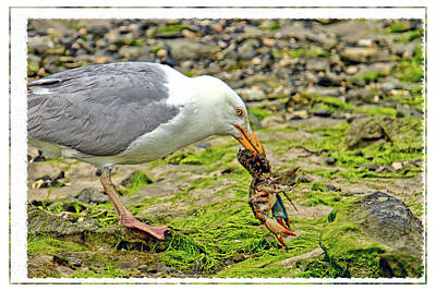 Seagull Having Crab For Lunch  Poster