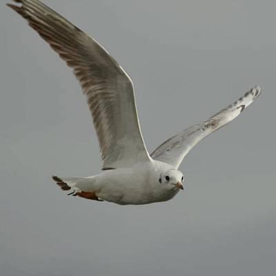 Seagull In Flight Against Gray Sky Vector Poster