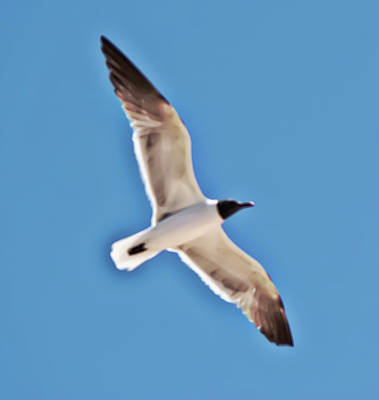 Seagull In Flight Poster by Gina O'Brien