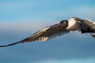 Seagull Portrait In Flight Poster