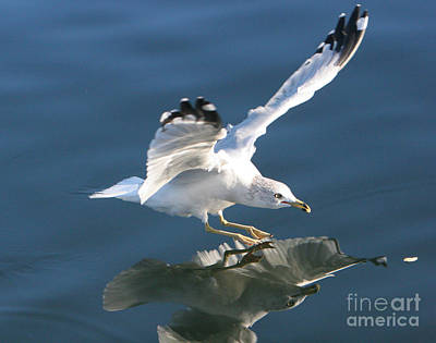 Seagull Reflection Poster by Rod Jellison
