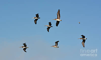 Poster featuring the photograph Seagull Soaring With Pelicans by Susan Wiedmann