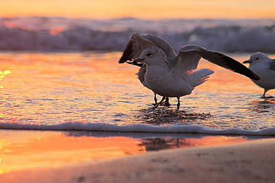 Seagull Stretch At Sunrise Poster