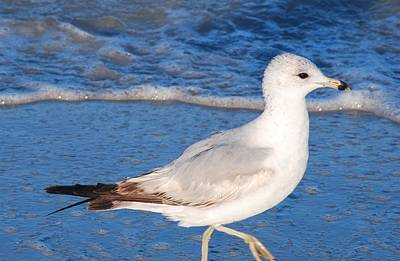 Seagull Walks The Surfline Poster by Bill Driscoll