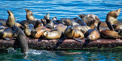 Sealions On A Floating Dock Another View Poster
