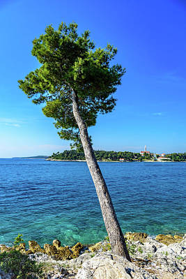 Seaside Leaning Tree In Rovinj, Croatia Poster